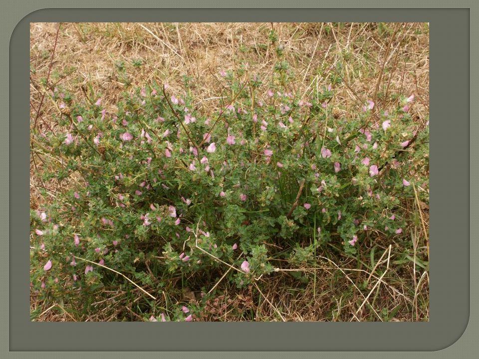 Polokeř (suffrutex, hemixylum) je cévnatá rostlina, která se od keře liší tím, že nepříznivé období (zimu) přečkává jen přibližně 10-20 centimetrový zdřevnatělý stonek.