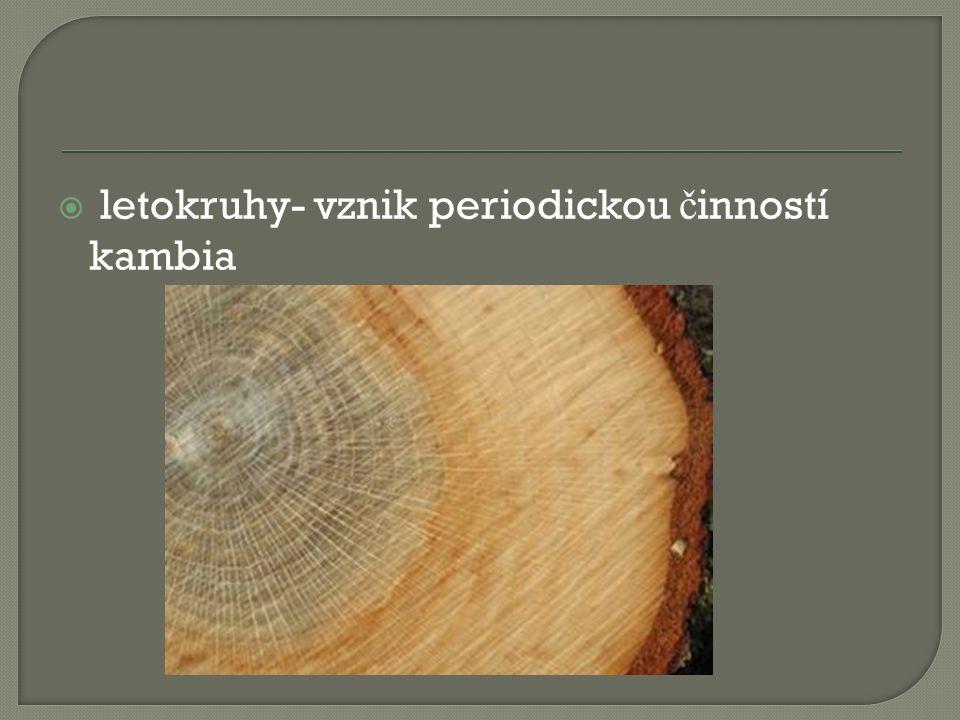 letokruhy- vznik periodickou činností kambia