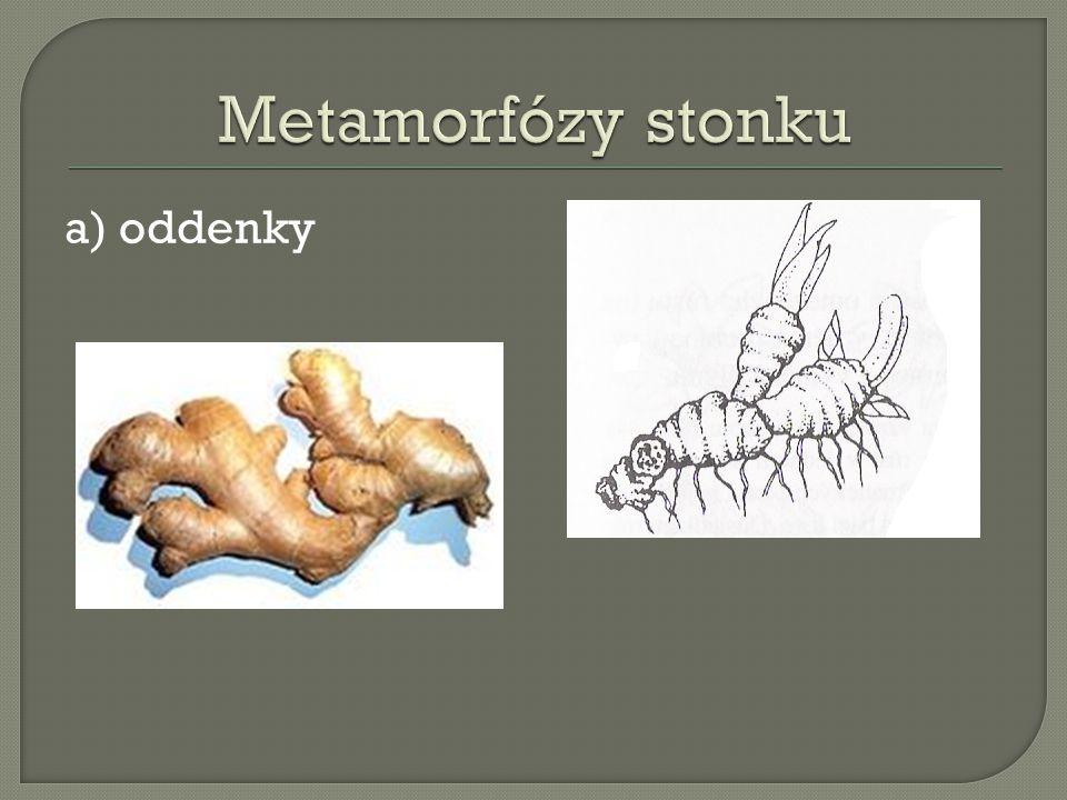 Metamorfózy stonku a) oddenky