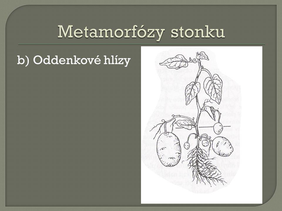 Metamorfózy stonku b) Oddenkové hlízy