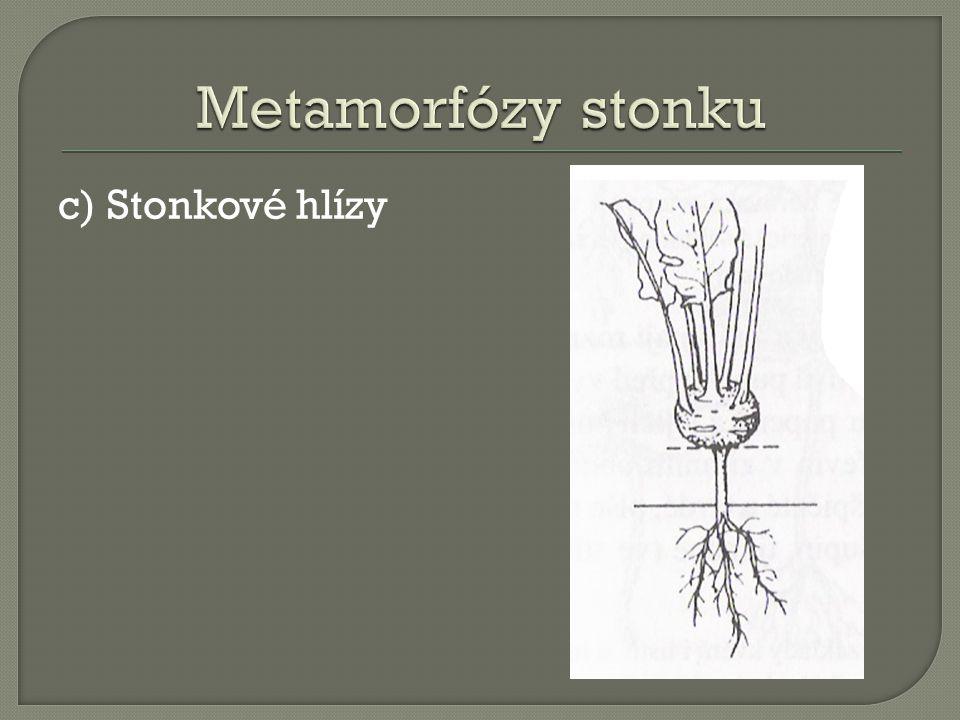 Metamorfózy stonku c) Stonkové hlízy