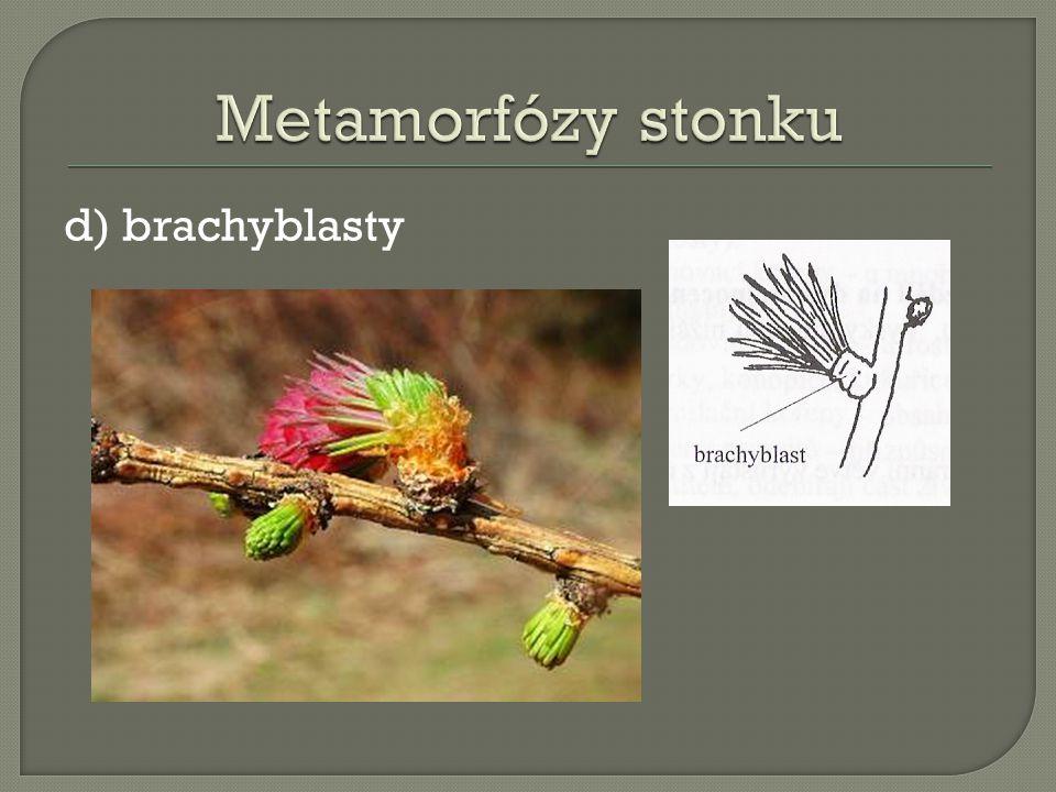 Metamorfózy stonku d) brachyblasty