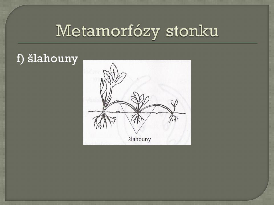 Metamorfózy stonku f) šlahouny