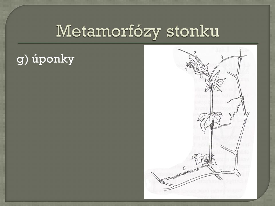 Metamorfózy stonku g) úponky