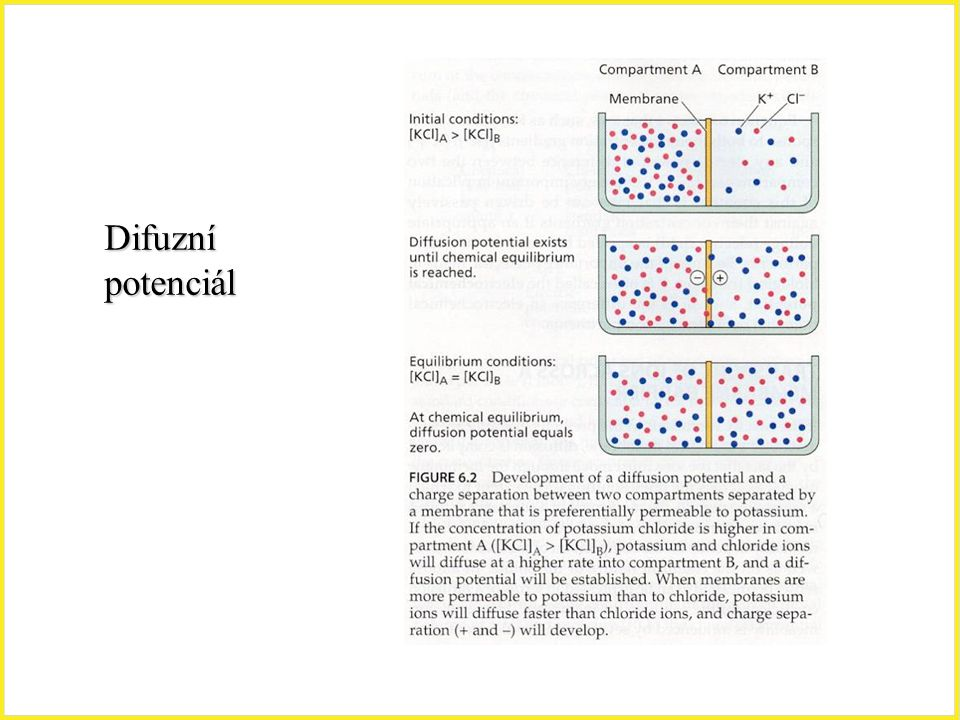 Difuzní potenciál Difuzní potencial, membrána,