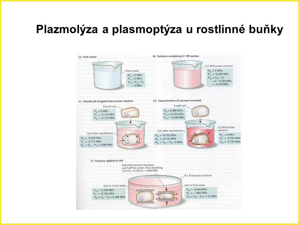 Plazmolýza a plasmoptýza u rostlinné buňky