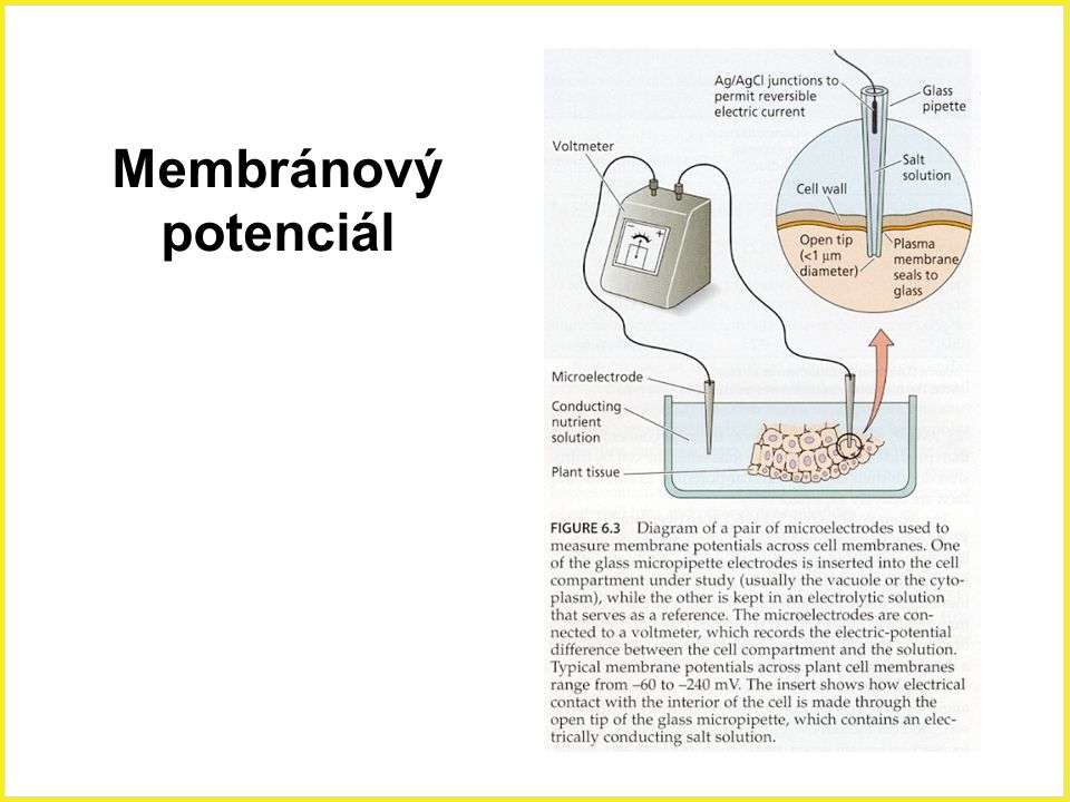 Membránový potenciál Membránový potenciál 24