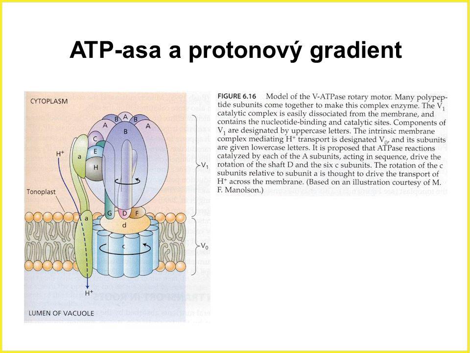 ATP-asa a protonový gradient