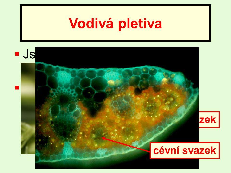 Vodivá pletiva Jsou tvořená cévními svazky (žilkami)