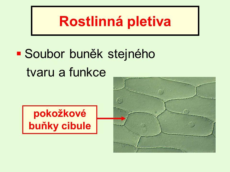 pokožkové buňky cibule