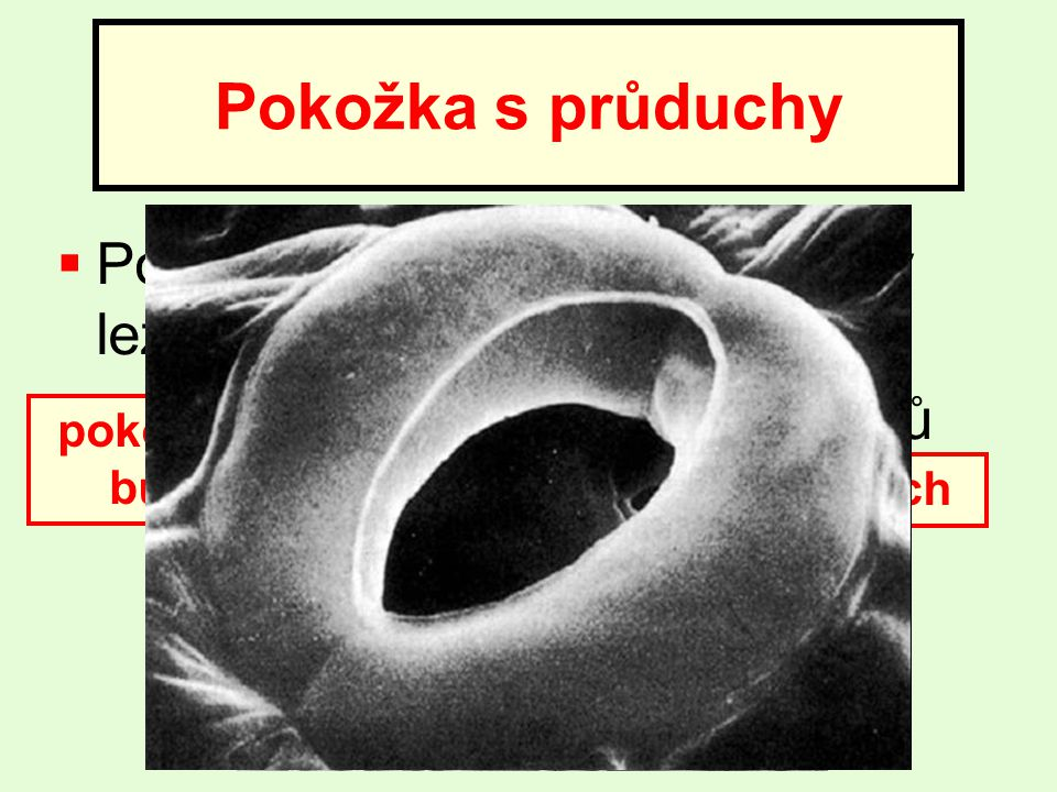 Pokožka s průduchy Pokožku tvoří dlaždicové buňky ležící těsně vedle sebe. Průduchy slouží k výměně plynů a vody s vnějším prostředím.