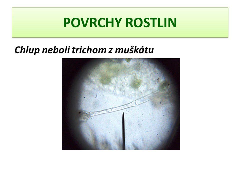 POVRCHY ROSTLIN Chlup neboli trichom z muškátu