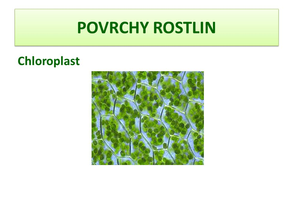 POVRCHY ROSTLIN Chloroplast