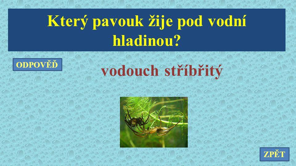 Který pavouk žije pod vodní hladinou