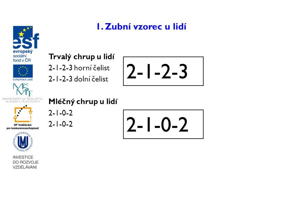 2-1-2-3 2-1-0-2 1. Zubní vzorec u lidí Trvalý chrup u lidí