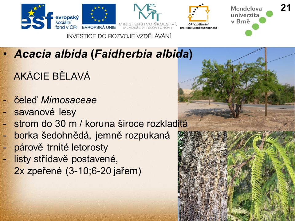 Acacia albida (Faidherbia albida)
