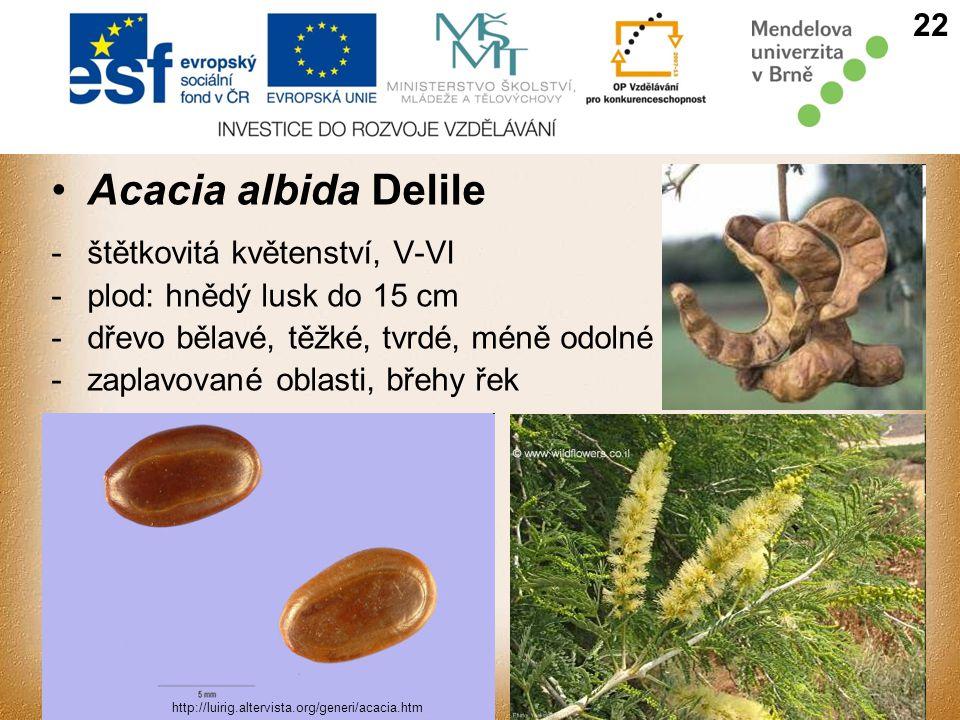 Acacia albida Delile 22 štětkovitá květenství, V-VI