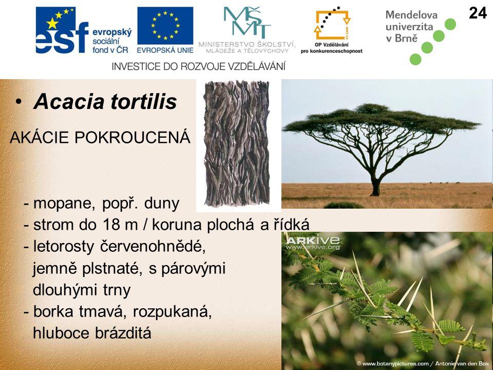 Acacia tortilis 24 AKÁCIE POKROUCENÁ - mopane, popř. duny