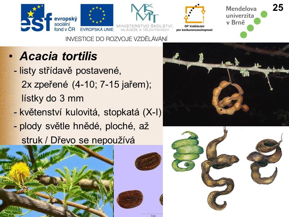 Acacia tortilis 25 - listy střídavě postavené,