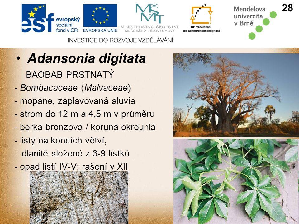 Adansonia digitata 28 BAOBAB PRSTNATÝ - Bombacaceae (Malvaceae)