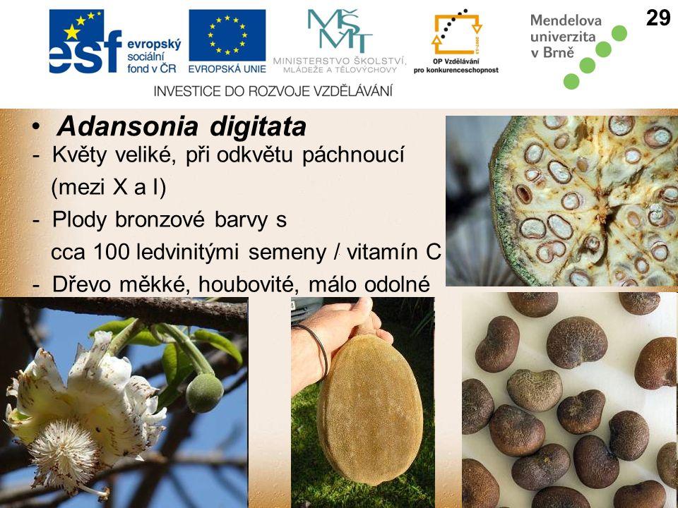 Adansonia digitata 29 - Květy veliké, při odkvětu páchnoucí