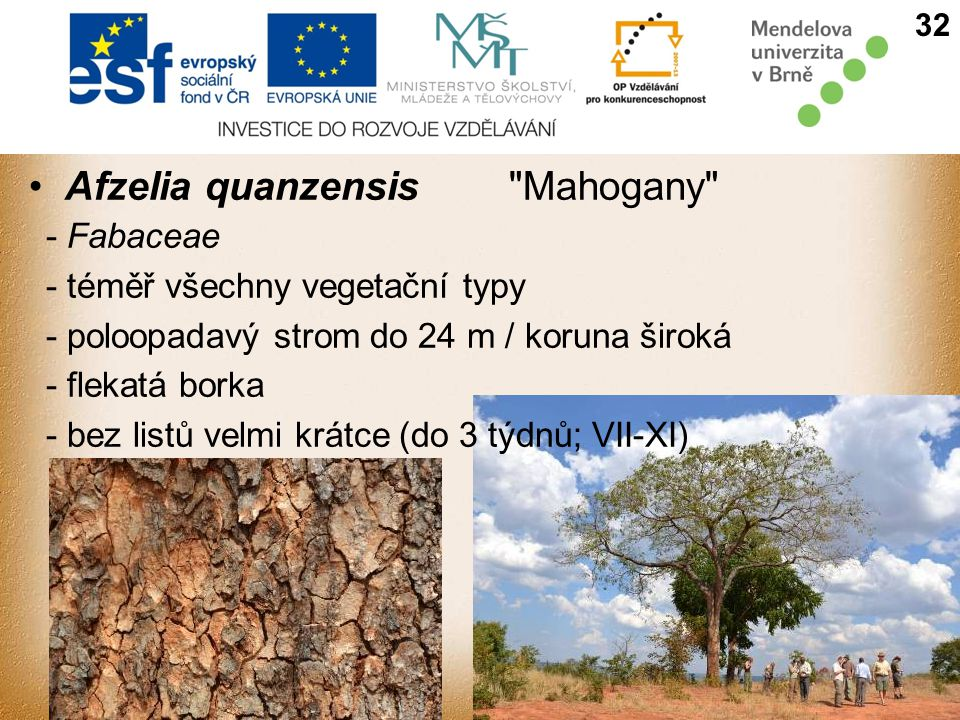 Afzelia quanzensis Mahogany