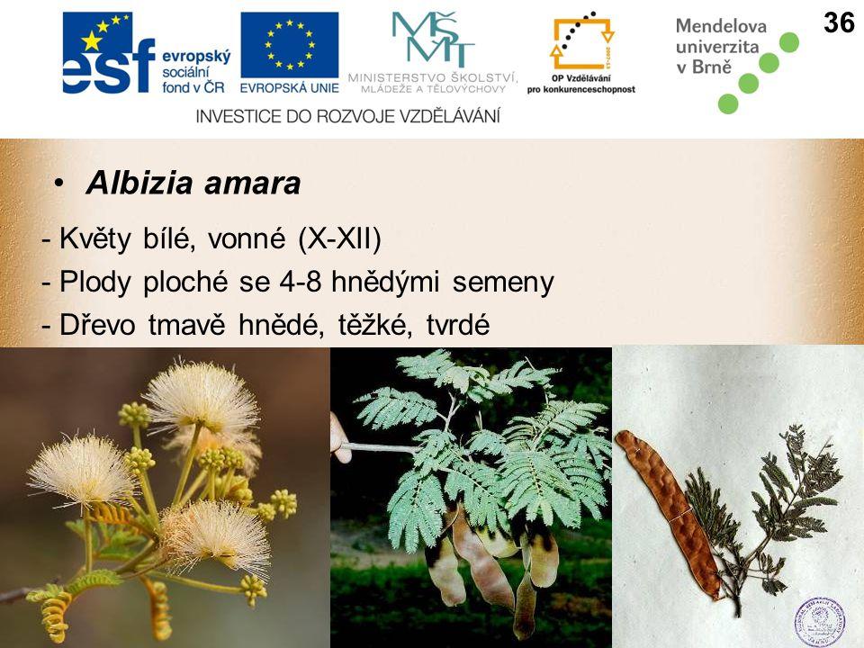 Albizia amara - Květy bílé, vonné (X-XII)