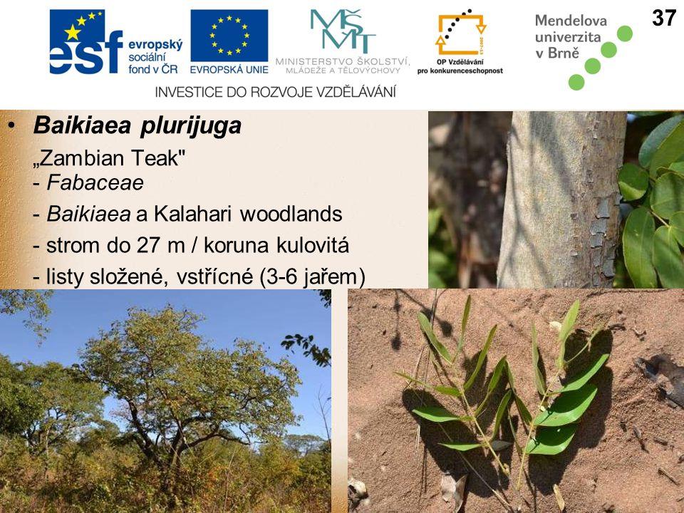"Baikiaea plurijuga 37 ""Zambian Teak - Fabaceae"
