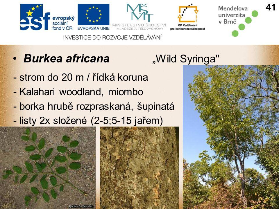 "Burkea africana ""Wild Syringa"
