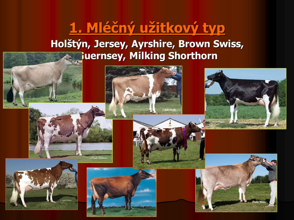 Holštýn, Jersey, Ayrshire, Brown Swiss, Guernsey, Milking Shorthorn