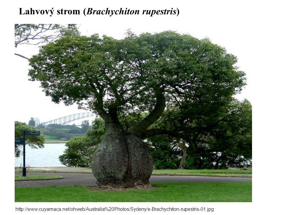 Lahvový strom (Brachychiton rupestris)