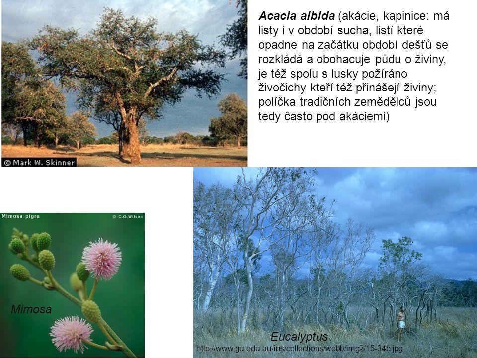 Eucalyptus http://www.gu.edu.au/ins/collections/webb/img2/15-34b.jpg