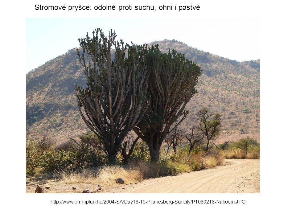 Stromové pryšce: odolné proti suchu, ohni i pastvě