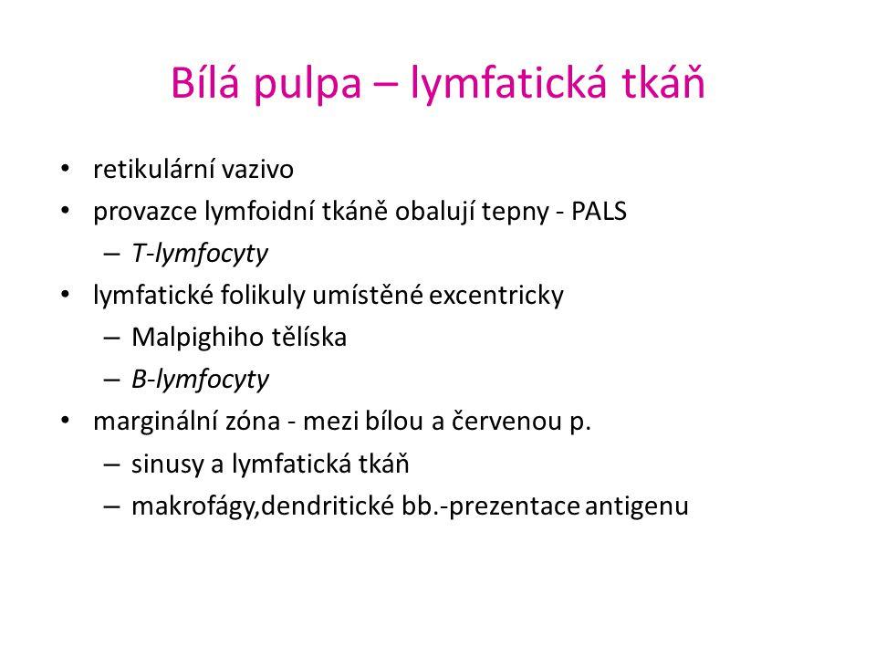 Bílá pulpa – lymfatická tkáň