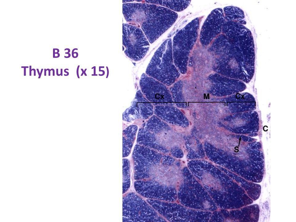 B 36 Thymus (x 15)