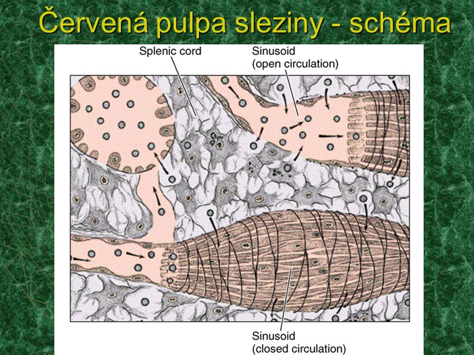 Červená pulpa sleziny - schéma