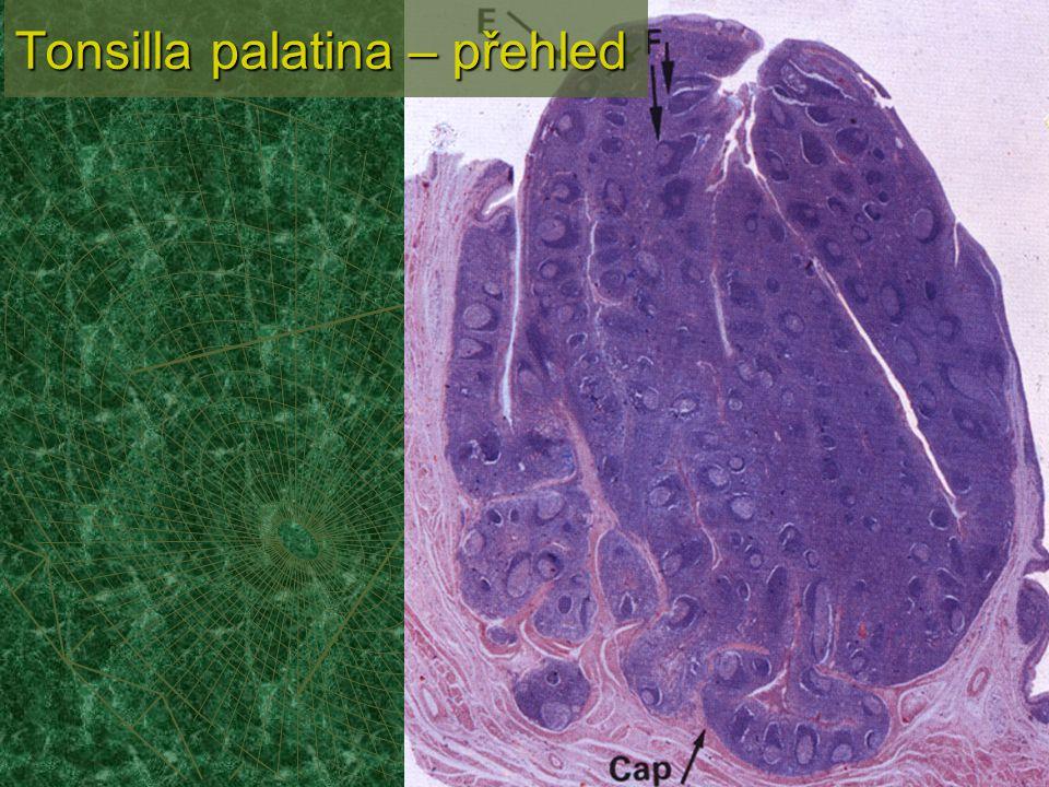 Tonsilla palatina – přehled