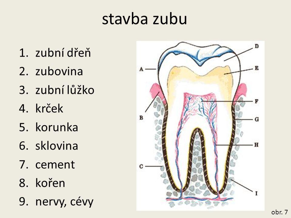 stavba zubu zubní dřeň zubovina zubní lůžko krček korunka sklovina