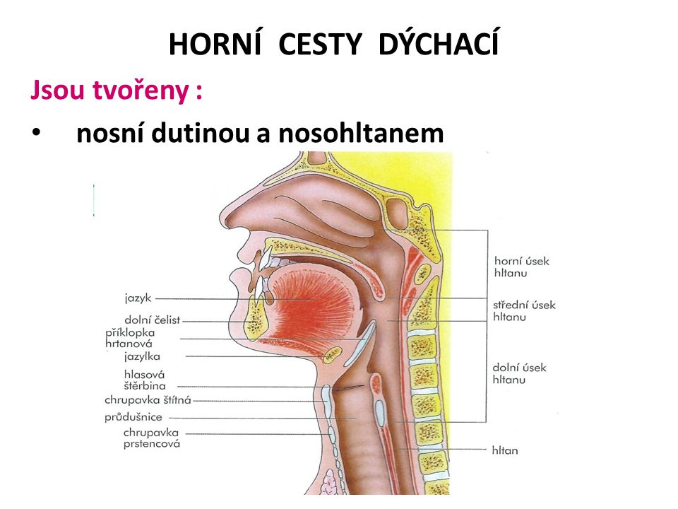 HORNÍ CESTY DÝCHACÍ Jsou tvořeny : nosní dutinou a nosohltanem