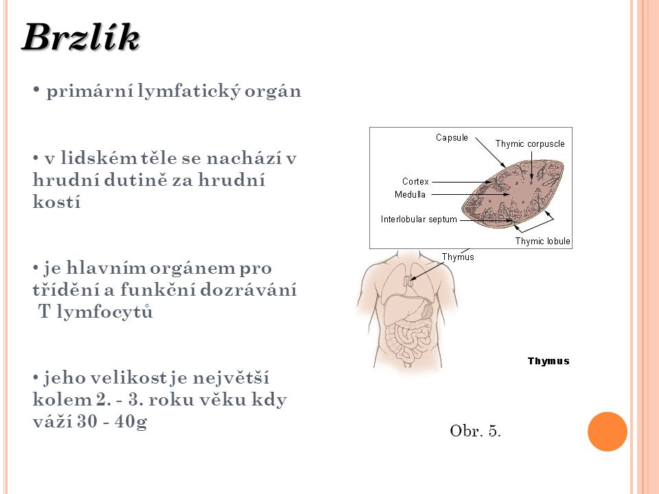 Brzlík primární lymfatický orgán