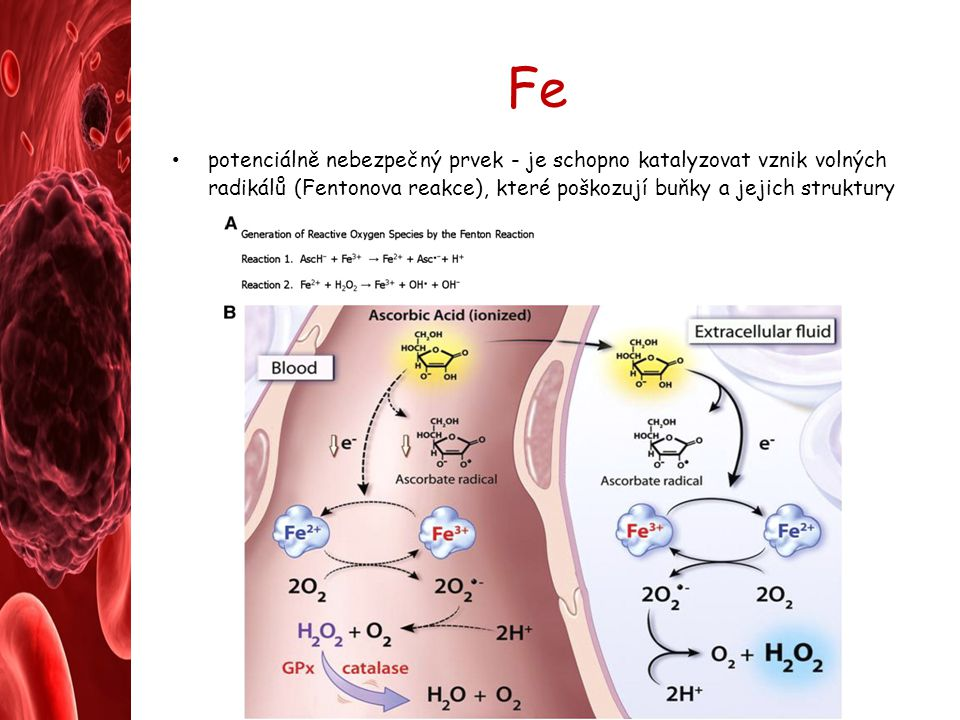 Fe potenciálně nebezpečný prvek - je schopno katalyzovat vznik volných radikálů (Fentonova reakce), které poškozují buňky a jejich struktury.