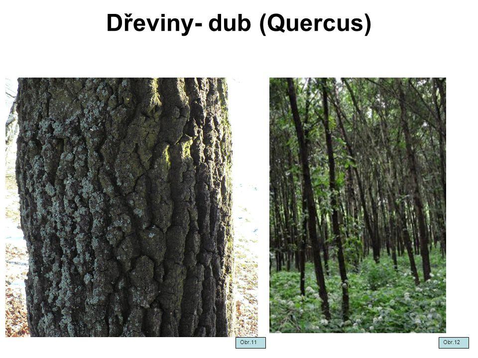 Dřeviny- dub (Quercus)