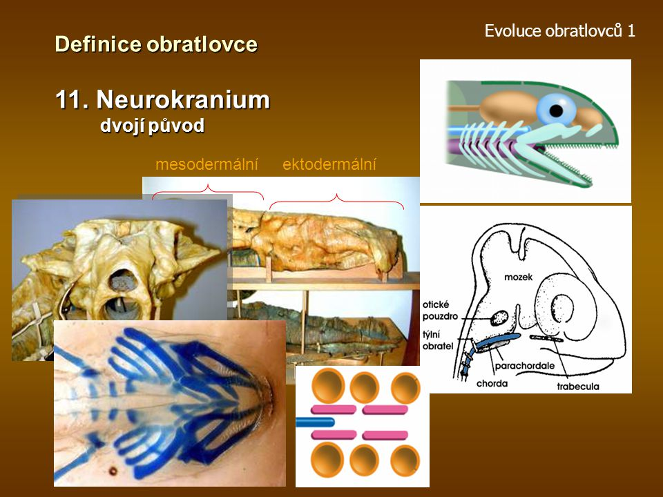 11. Neurokranium Definice obratlovce dvojí původ Evoluce obratlovců 1