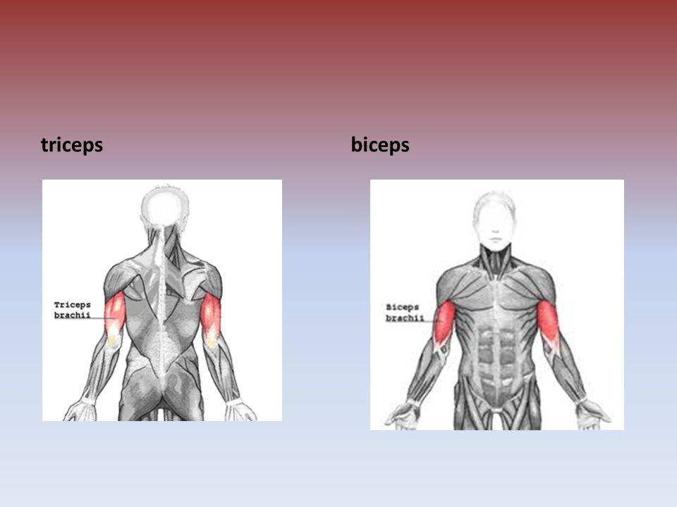 triceps biceps