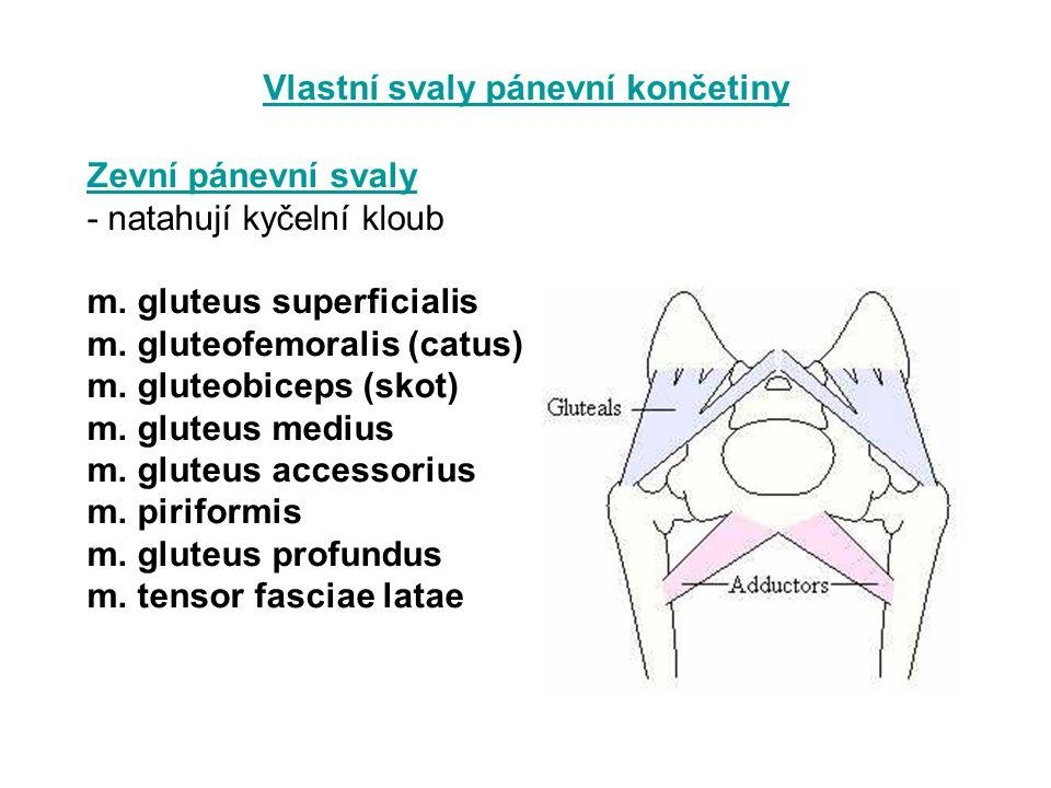 Vlastní svaly pánevní končetiny