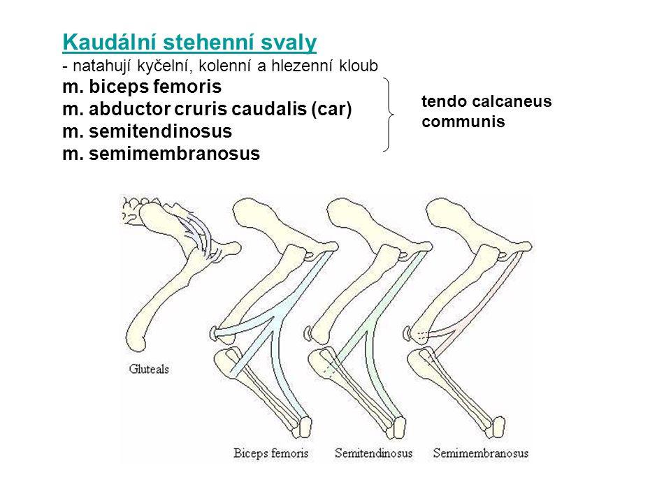 Kaudální stehenní svaly