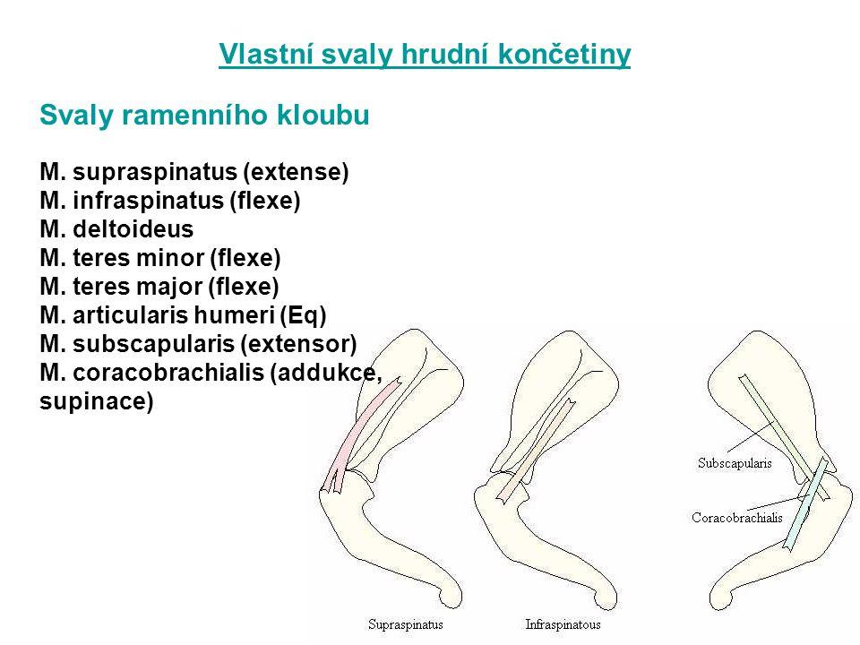 Vlastní svaly hrudní končetiny