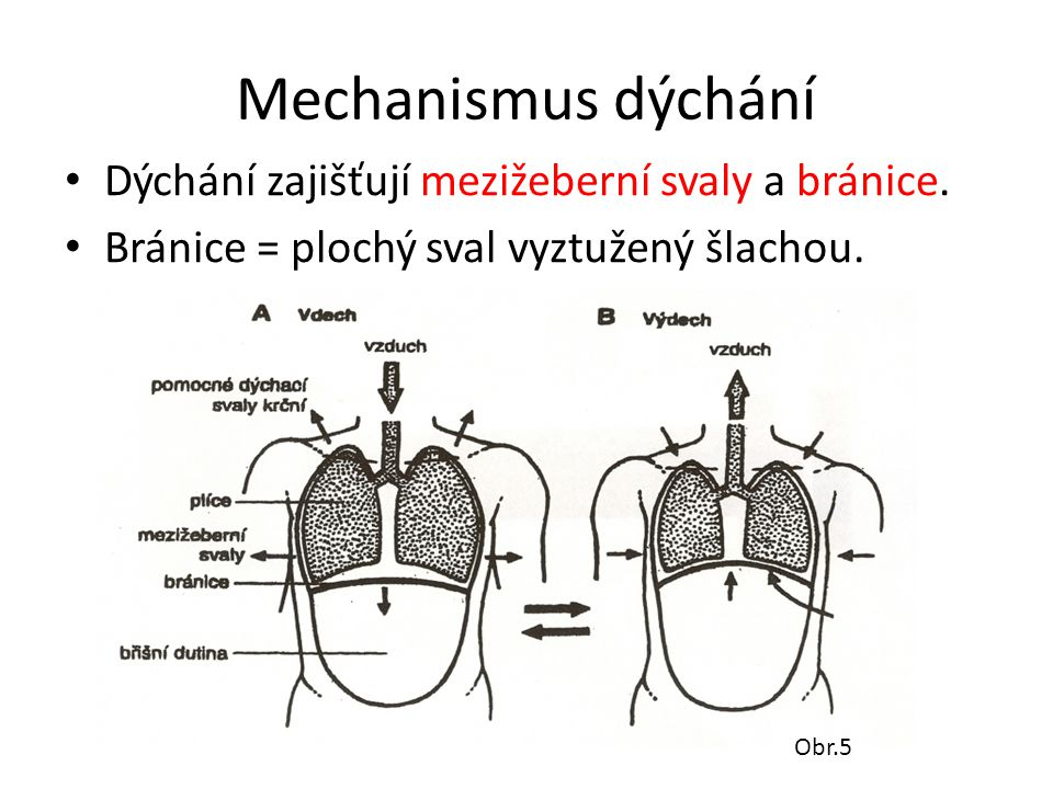 Mechanismus dýchání Dýchání zajišťují mezižeberní svaly a bránice.