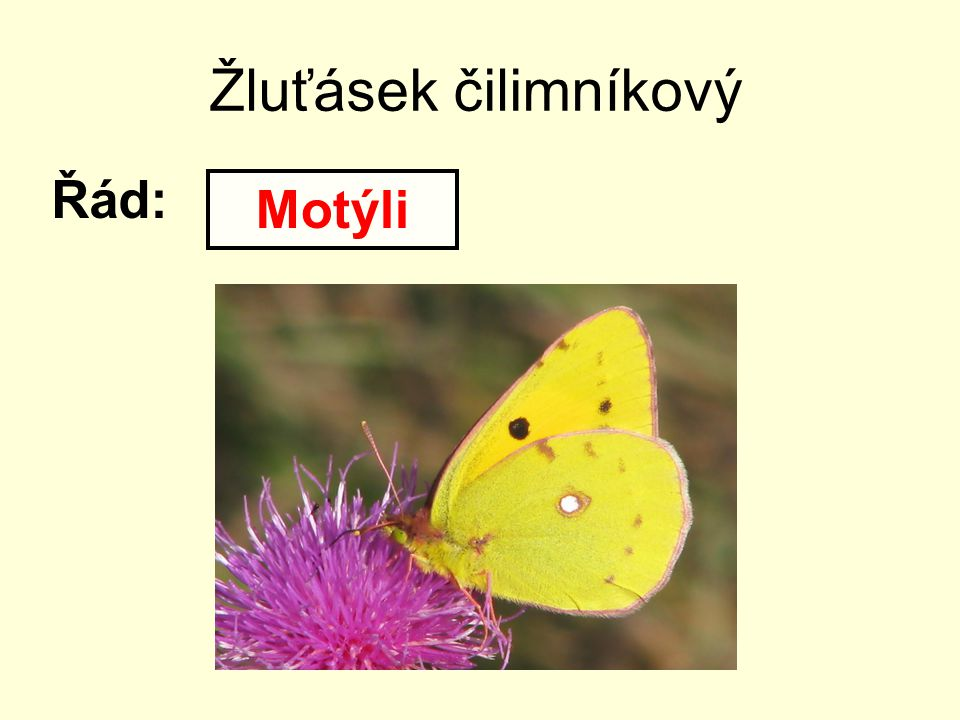 Žluťásek čilimníkový Řád: Motýli