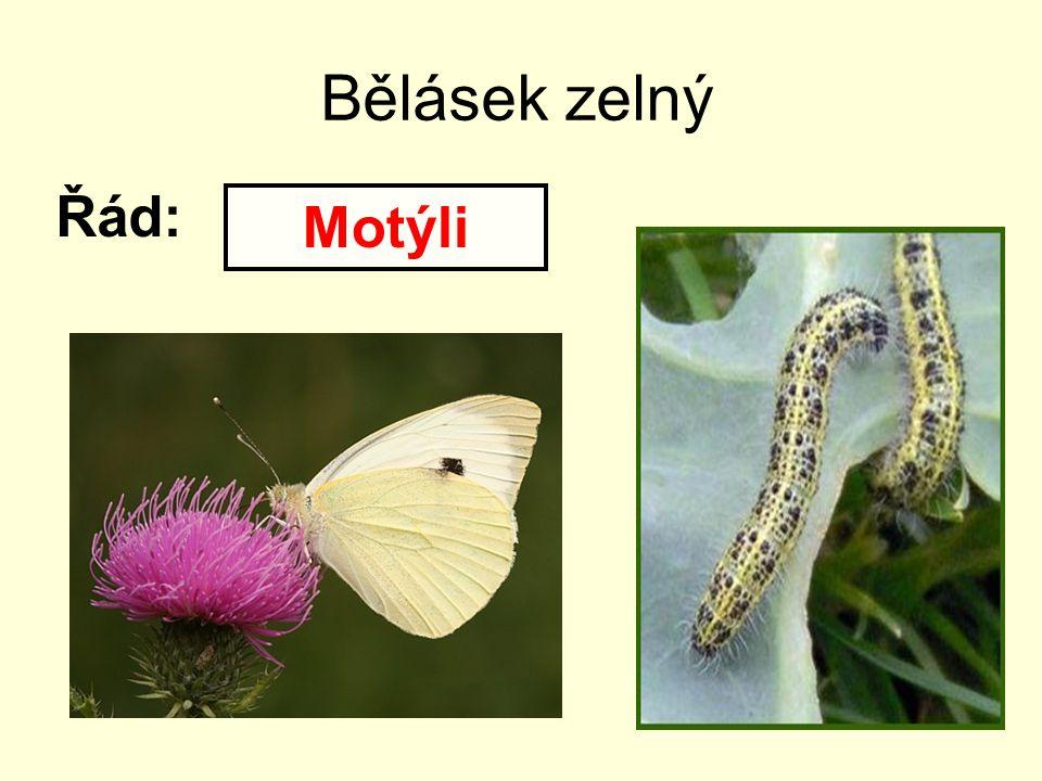 Bělásek zelný Řád: Motýli